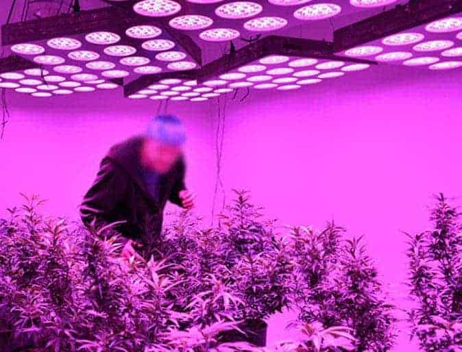 coltiavazione cannabis indoor