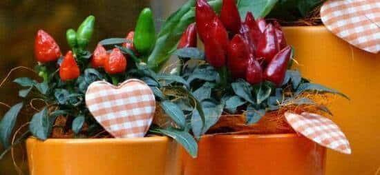 seminare peperoncino in casa